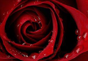 """Фото на стекле """"Алая страсть розы"""""""