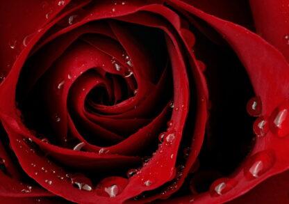 Фото на стекле «Алая страсть розы»