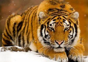 Фото на стекле «Тигр»
