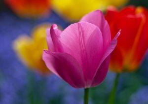 """Фото на стекле """"Разноцветные тюльпаны"""""""