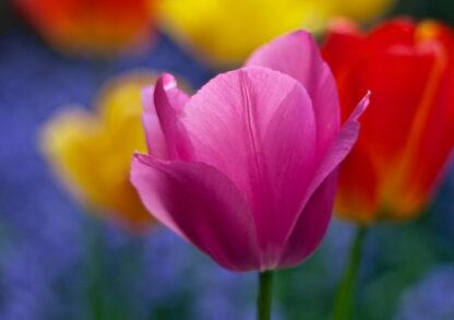 Фото на стекле «Разноцветные тюльпаны»