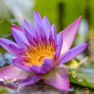 Фото на стекле «Цветок лотоса»