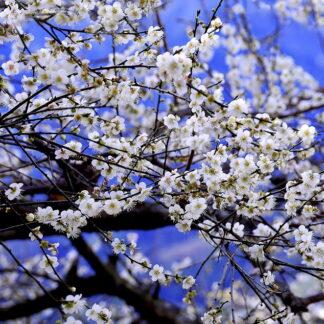 Фото на стекле «Весеннее цветение сливы»
