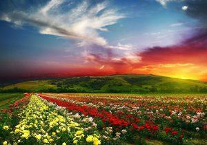 Фото на стекле «Поле роз»